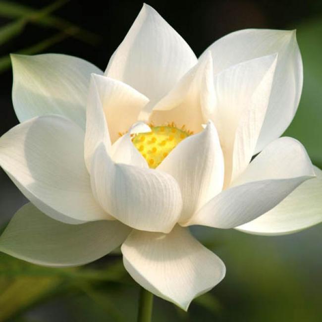 Благовоние (ароматические палочки) Белый лотос. Индия. Ашрам Шри Ауробиндо.